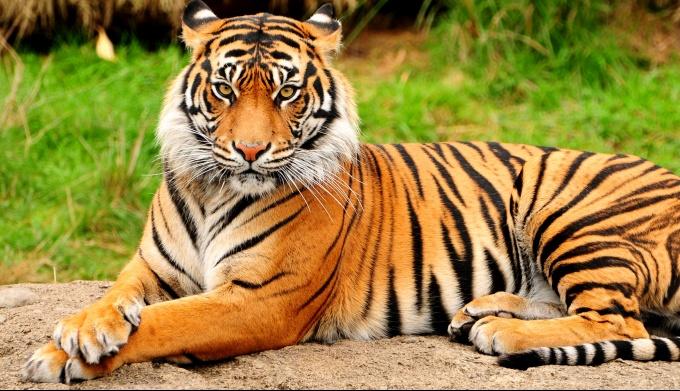 Тигр – главный знак китайского гороскопа