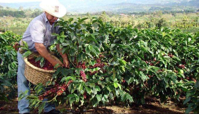 Все о сборе кофейных ягод с плантаций
