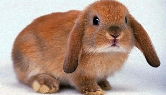 Чем и как надо кормить домашнего кролика