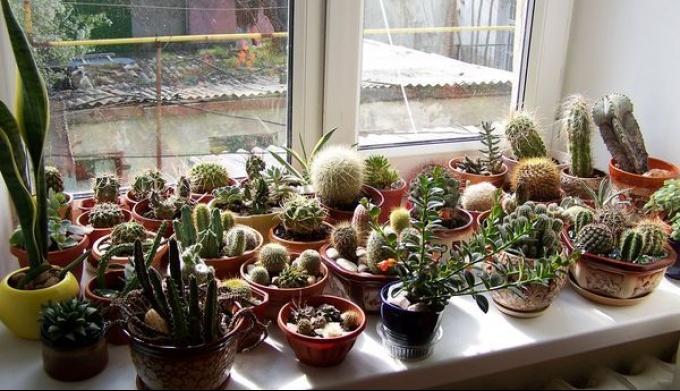 Пересадка и зимовка кактусов