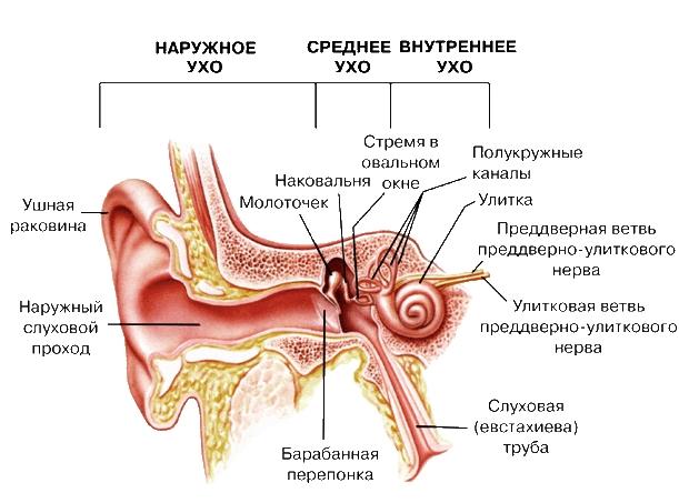 Где расположен орган слуха